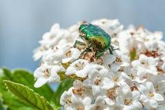 在荚莲属的植物花的绿色甲虫 免版税库存照片