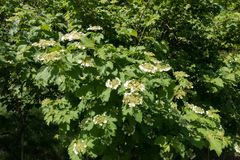 在荚莲属的植物opulus leafage的白花  免版税库存图片