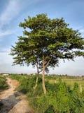 在荣耀中间的金黄树 免版税图库摄影