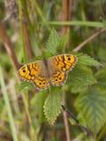在荨麻叶子的墙壁棕色蝴蝶 库存照片