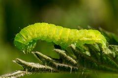 在荨麻的一条绿色毛虫 免版税库存图片