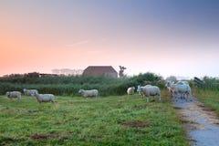 在荷兰农田的绵羊由农舍 免版税库存图片