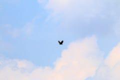 在荷兰天空的白被盯梢的老鹰在河IJssel,荷兰附近 免版税库存图片