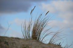 在荷兰沿海沙丘的滨草草 图库摄影
