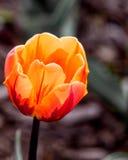 在荷兰郁金香节日的橙色郁金香 库存照片
