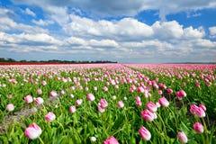 在荷兰领域和蓝天的乳脂状的桃红色郁金香 库存照片