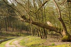 在荷兰风景的弯曲的增长的树在waterleiding的沙丘 库存照片