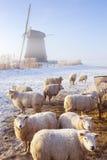 在荷兰风车前面的绵羊在一个冬天的早晨 图库摄影
