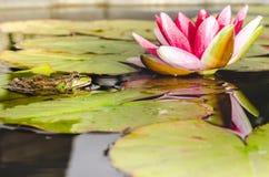 在荷花的叶子的青蛙在百合花附近的一个池塘 r 免版税库存图片