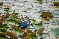 在荷花的紫色Swamphen鸟波尔菲里奥波尔菲里奥在Thale Noi水鸟Reserve湖,泰国离开 库存图片
