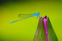 在荷花的蓝色蜻蜓 免版税图库摄影
