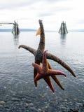 在荷马catched的二重奏海星 库存图片