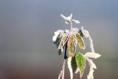 在莓叶子的霜 免版税库存照片