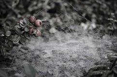 在莓果上的蜘蛛网在灰色早晨 库存照片