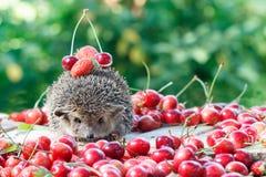 在莓果中的好奇猬在绿色离开背景 库存图片