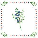 在莓果框架的白色背景隔绝的蓝莓小树枝  免版税库存图片