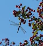 在莓果的蜻蜓饲料 库存照片