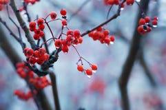 在莓果的雨下落 免版税库存图片