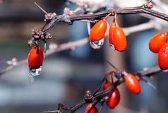 水滴在莓果的 免版税库存照片