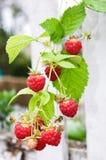 在莓的范围 库存照片