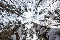在莫斯科的郊区杉木森林 查寻 免版税库存照片