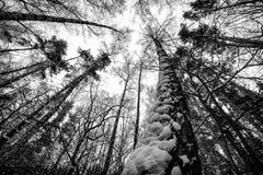在莫斯科的郊区杉木森林 库存图片