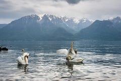 在莱芒湖的天鹅在洛桑,瑞士 免版税库存照片