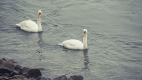 在莱茵河的逗人喜爱的天鹅夫妇在波恩 库存图片