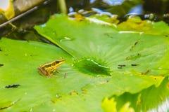 在莲花叶子的一只逗人喜爱的池蛙在池塘 广东青蛙(Hylarana macrodactyla),亦称广东青蛙, three-s 免版税库存图片