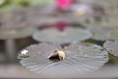 在莲花叶子的一片干燥叶子 免版税库存照片