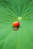 在莲花叶子的樱桃。 免版税库存图片