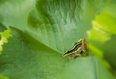在莲花叶子的池蛙 图库摄影