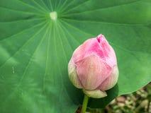 在莲花叶子的莲花 免版税库存照片