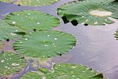 在莲花叶子的雨珠 库存图片