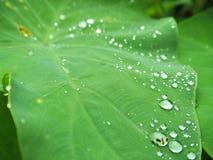 在莲花叶子的露水 免版税库存照片