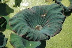 在莲花叶子的露水 免版税库存图片