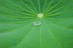 在莲花叶子的水。 图库摄影