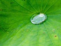 水滴在莲花叶子的 库存照片