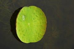 在莲花叶子的Waterdrop 库存图片