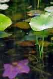 在莲花叶子顶部的蓝色蜻蜓 图库摄影
