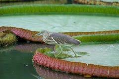 在莲花垫的鸟 免版税库存照片