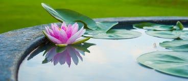 在莲花的一只蜂,在池塘浇灌lilly 免版税库存照片
