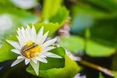 在莲花的一只逗人喜爱的池蛙在池塘 广东青蛙(Hylarana macrodactyla),亦称广东青蛙,三 免版税库存图片