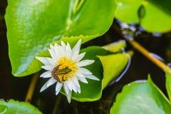 在莲花的一只逗人喜爱的池蛙在池塘 广东青蛙(Hylarana macrodactyla),亦称广东青蛙,三 图库摄影