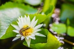 在莲花的一只逗人喜爱的池蛙在池塘 广东青蛙(Hylarana macrodactyla),亦称广东青蛙,三 免版税库存照片
