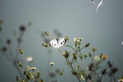 在莲花的两只飞蛾 库存图片
