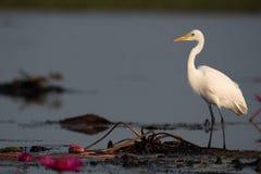 在莲花的中间白鹭立场在沼泽地区域 免版税库存照片