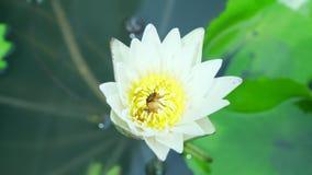 在莲花的蜂 影视素材