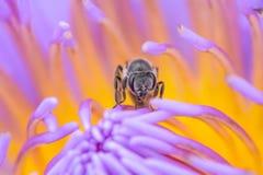 在莲花的蜂 库存图片