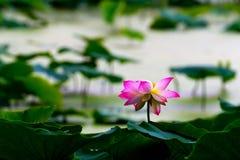 在莲花的雨以后 库存图片